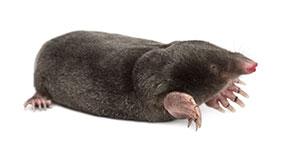 Exterminate Moles - ApolloX Pest Control