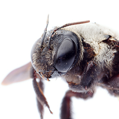 Carpenter Bee Control - Identify, Understand, Eliminate