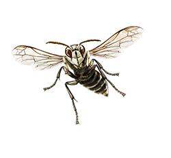 Bald Faced Hornet Control