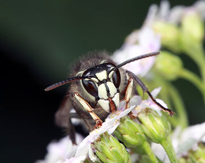 Bald Faced Hornet Control - They're on the rise beginning in June