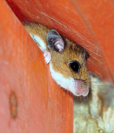 Fall Pest Control - Mice