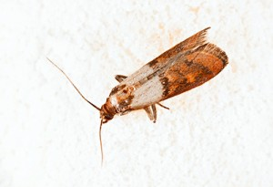 Pantry Moth Extermination