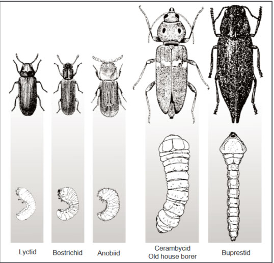 How To Get Rid Of Wood Beetles Apolloxapollox