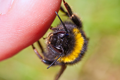 How to Get Rid of Bees - Bumble Bee Pictured