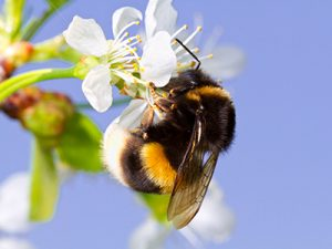 How to Get Rid of Bees - Bumble Bees Pictured