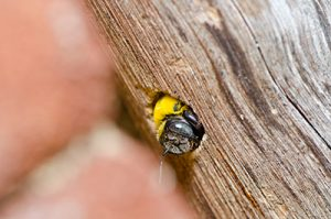 How to Get Rid of Bees - Carpenter Bee Pictured