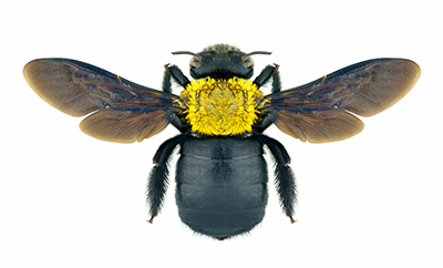 bees-carpenter-bees-011