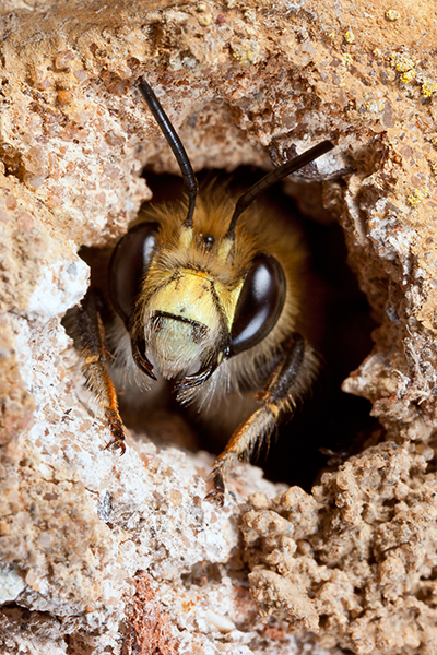 How to Get Rid of Bees - Ground Bee Pictured