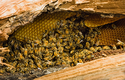 How to Get Rid of Bees - Honey Bees Pictured