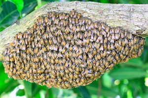 How to Get Rid of Bees - A Swarm of Honey Bees Pictured